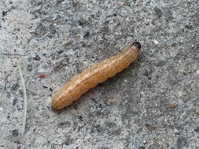 アワノメイガの幼虫