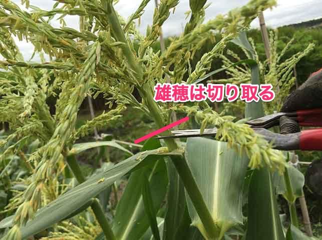 トウモロコシの雄穂はアワノメイガ対策に切り取っておく