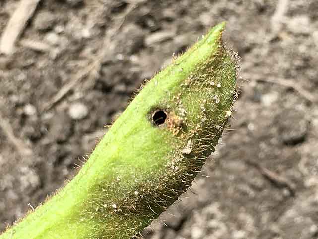 枝豆のさやに虫が入っている証拠の穴