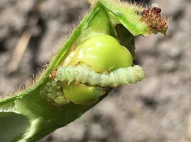 枝豆の中に入って食害するシロイチモジマダラメイガ