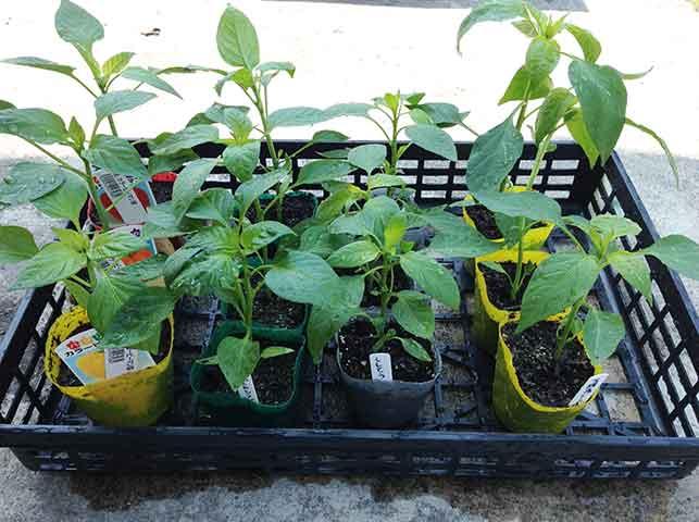シシトウ・トウガラシの苗
