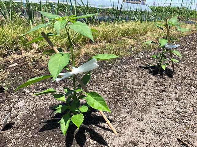 畑に定植した苗に仮支柱