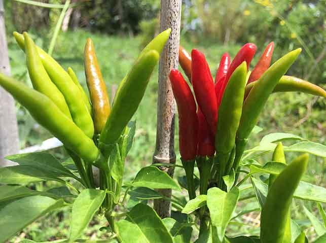 緑から黄色、赤色に熟す唐辛子