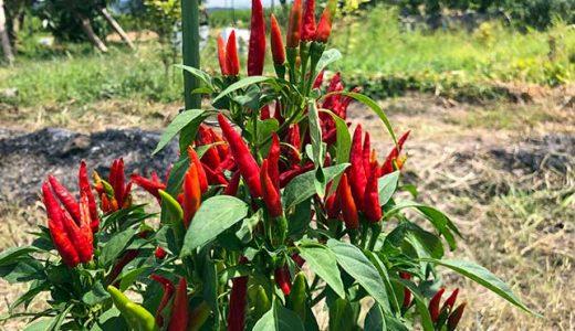 シシトウ・トウガラシの栽培方法・育て方のコツ