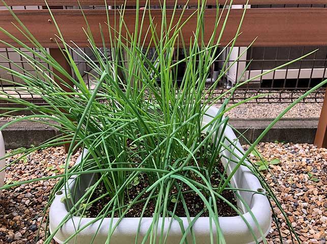 アサツキ(浅葱)・ワケギ(分葱)をプランターで栽培している様子