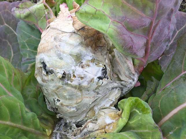 菌核病で白いカビに覆われたキャベツ