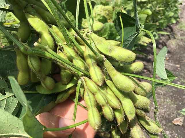 実が膨らんで収穫適期のエダマメ