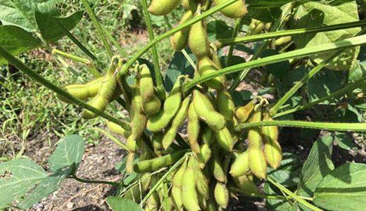 エダマメ(枝豆)の栽培方法・育て方のコツ