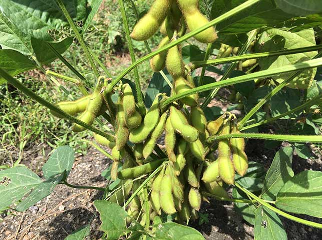 エダマメ(枝豆)の栽培方法