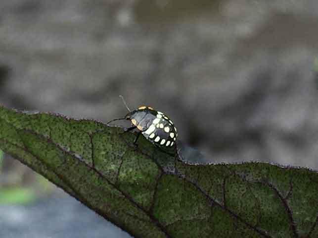 ナスについたアオクサカメムシの幼虫