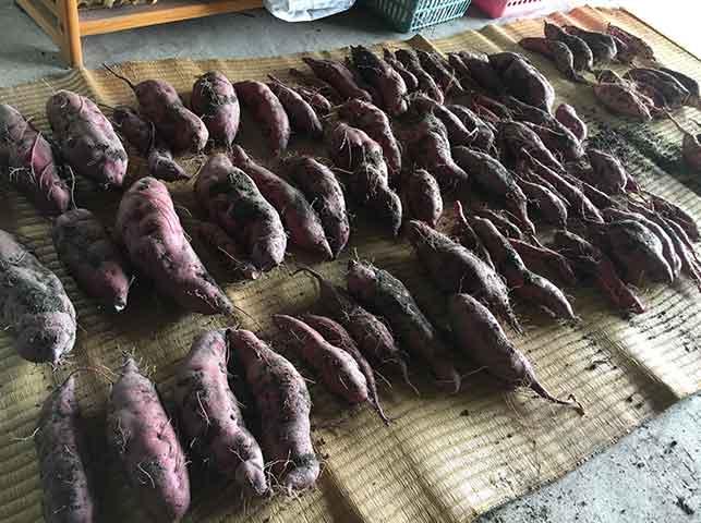 収穫したてのサツマイモは保存して追熟させる