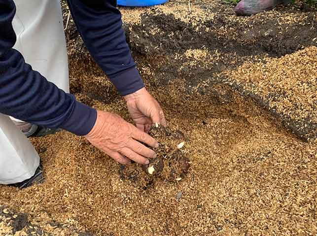 貯蔵していたサトイモの種芋の掘り起こし