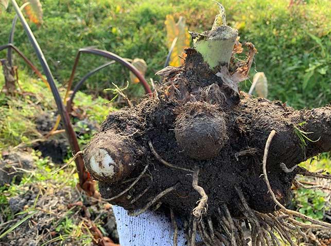 サトイモ(里芋)の収穫