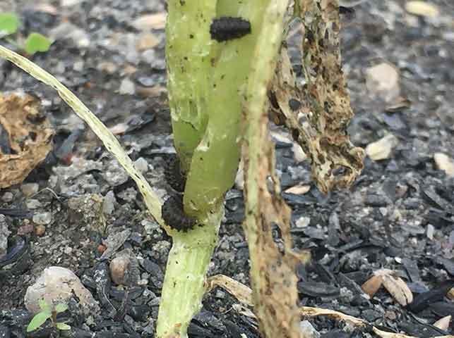 チンゲンサイを食害するダイコンハムシの幼虫