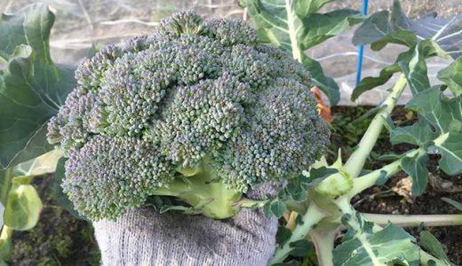 ブロッコリーの栽培方法・育て方のコツ