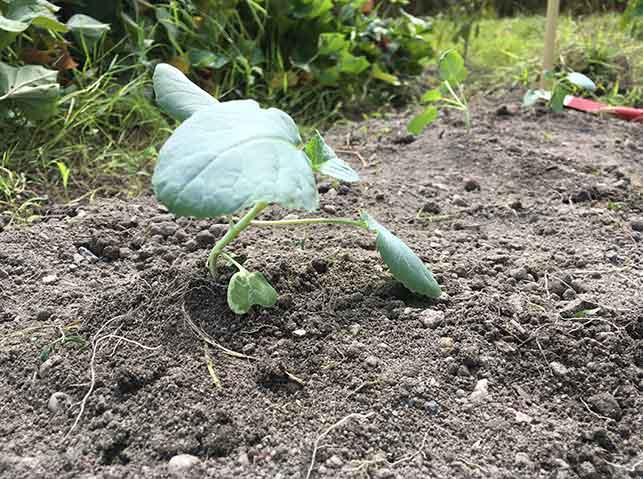 ブロッコリー苗の植え付け