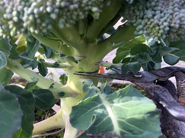 ブロッコリーを切り取って収穫