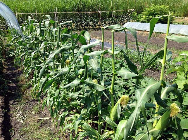 トウモロコシ栽培の様子