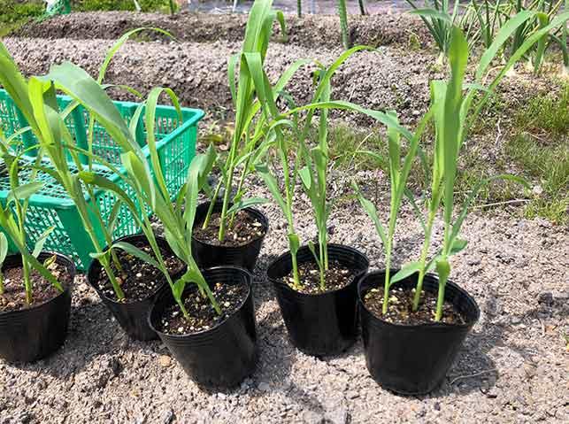 植付け適期のトウモロコシの苗