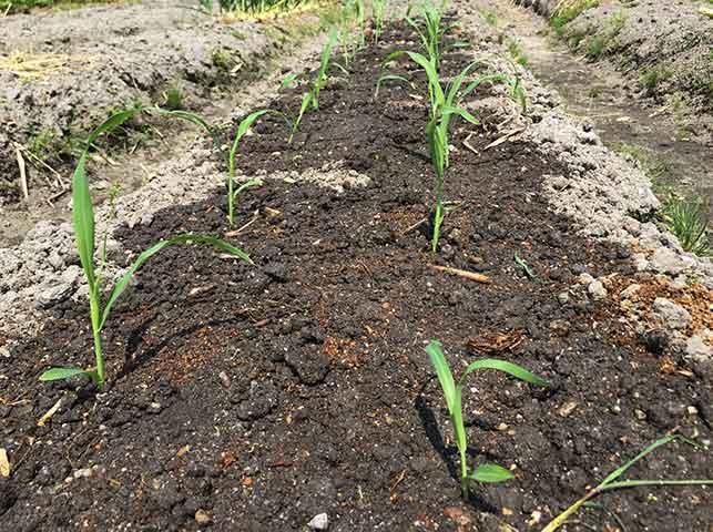 トウモロコシ苗の植え付け