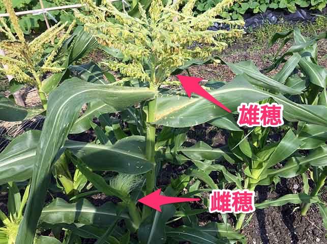トウモロコシの雄穂と雌穂