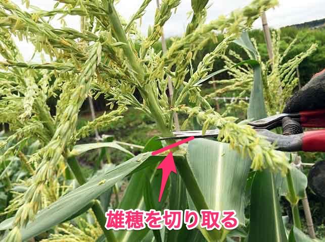 トウモロコシの人工授粉用に雄穂を切り取る