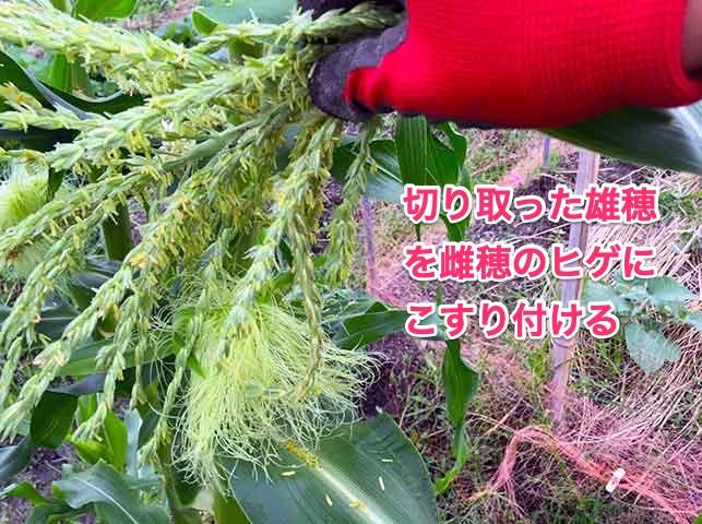トウモロコシの人工授粉