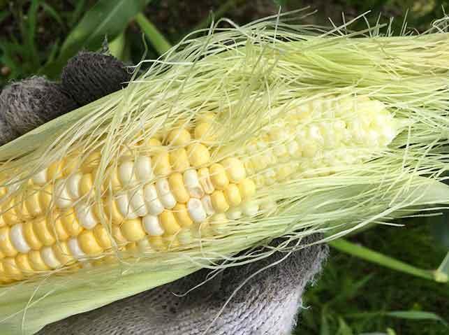 受粉不良で先端不稔のトウモロコシ