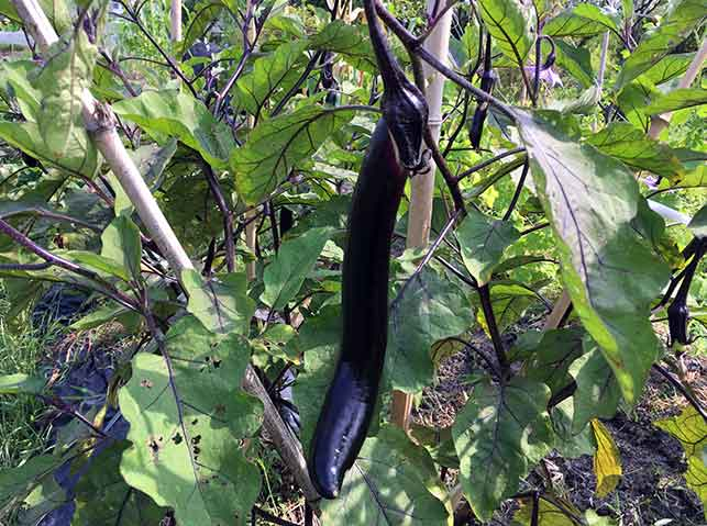 ナス品種「庄屋茄子」