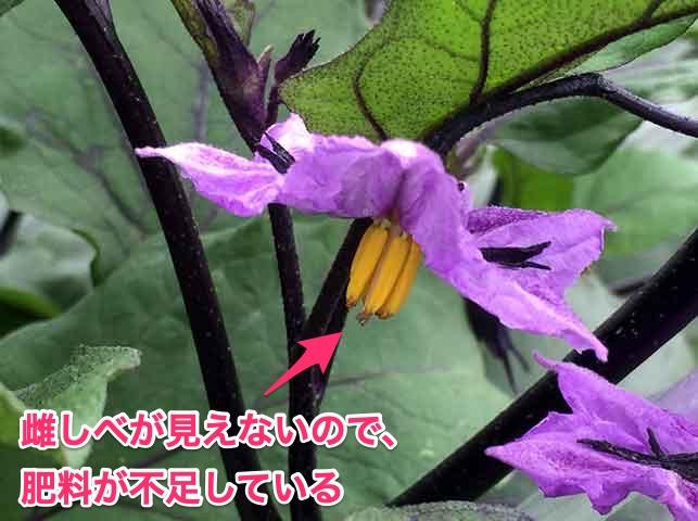 ナスの花の雌しべが見えないので肥料不足
