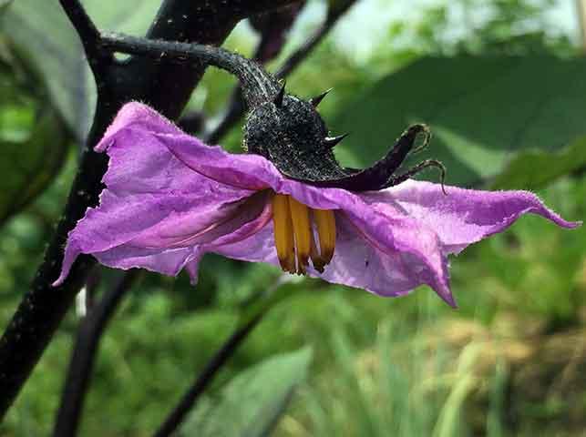 ナス(茄子)の花芽