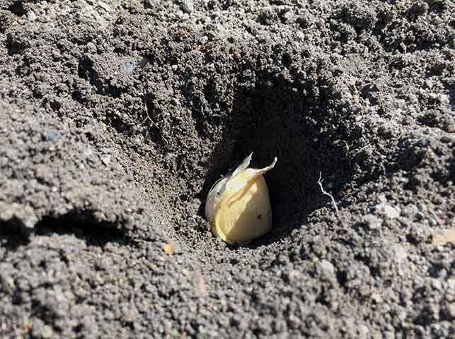 ニンニクの尖った方を上にして植えつける