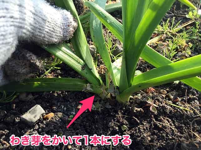 ニンニクのわき芽かき