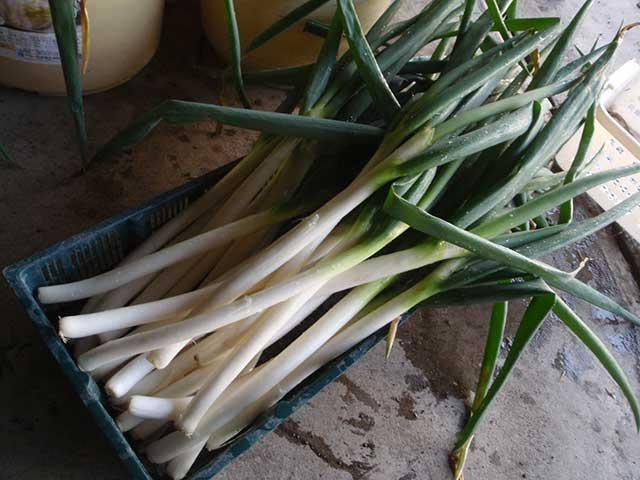 長ネギ(白ネギ・根深ネギ)の栽培