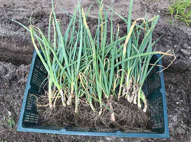 植え替えのため長ネギ苗を掘り起こす