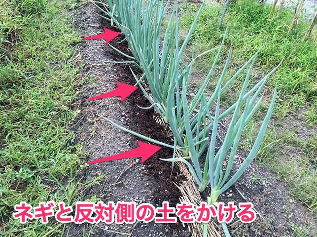 長ネギに追肥と土寄せ