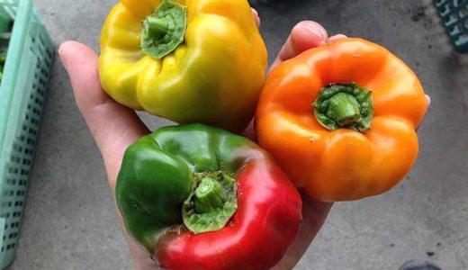 ピーマン・パプリカの栽培方法・育て方のコツ
