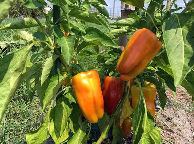 色付いた収穫適期のパプリカ