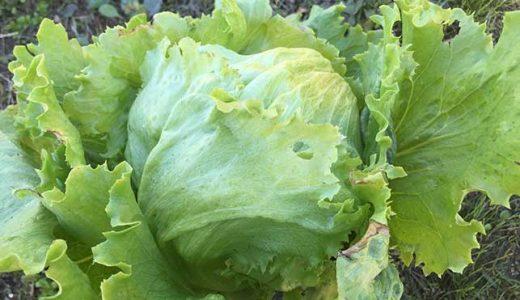 レタスの栽培方法・育て方のコツ