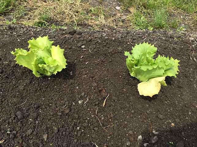 レタス苗の植え付け