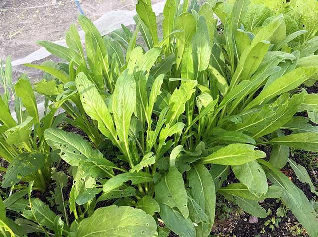 ミブナ(壬生菜)栽培の様子