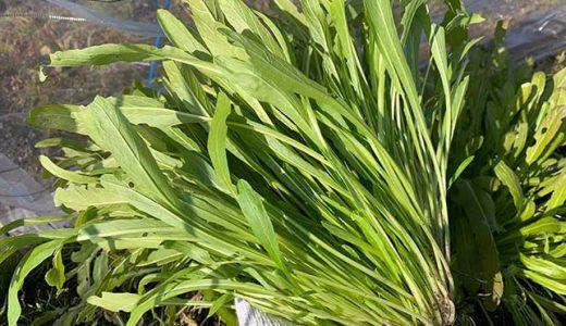 ミブナ(壬生菜)の栽培方法・育て方のコツ