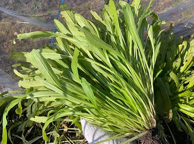 ミブナ(壬生菜)の栽培方法