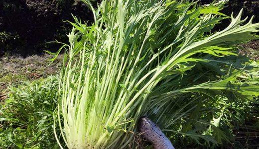 ミズナ(水菜)の栽培方法・育て方のコツ