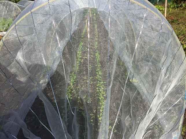 水菜・壬生菜に防虫ネットを掛ける