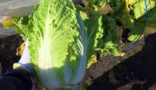 ハクサイ(白菜)の栽培方法・育て方のコツ