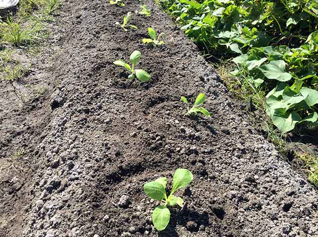 白菜の苗の植え付け