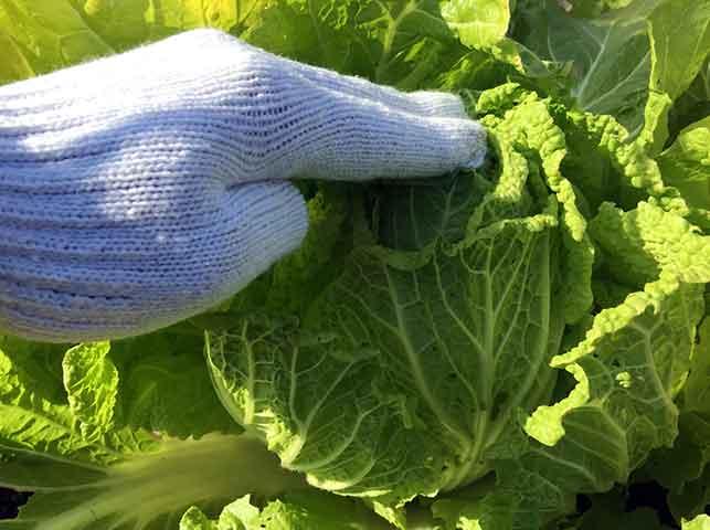 固くしまった白菜から収穫