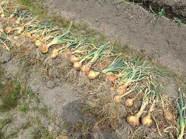 収穫したタマネギを畑で並べて乾燥