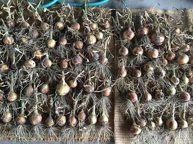 収穫したタマネギを軒下に並べて乾燥
